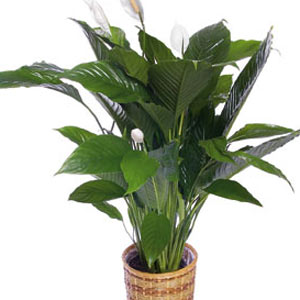 dịch vụ, Spathiphyllum Plant