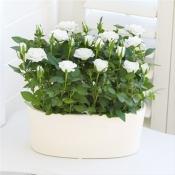 Cream Rose Planter