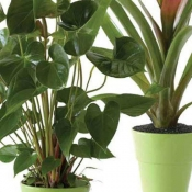 Single Plant